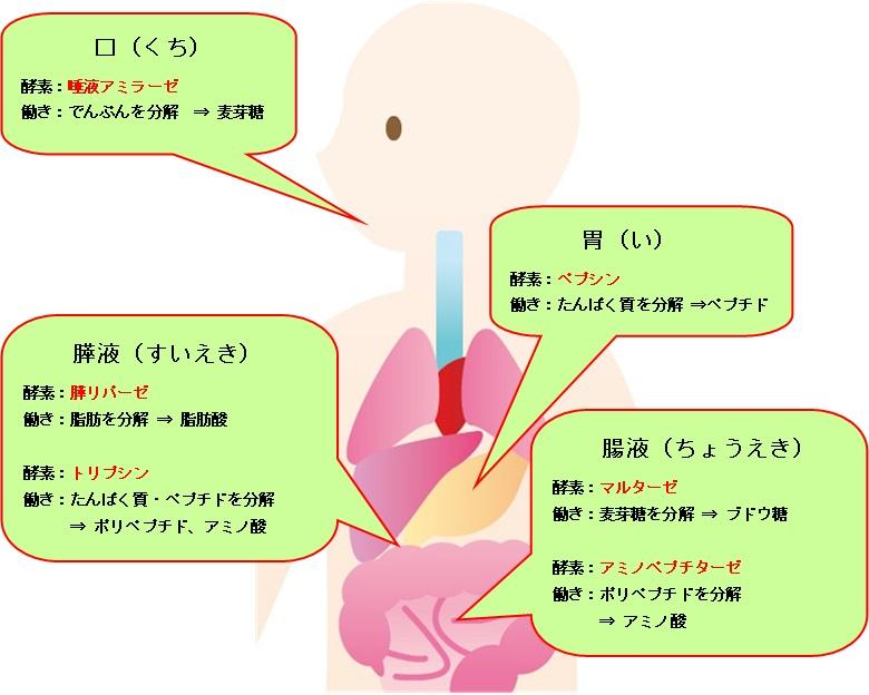 消化酵素_酵素・酵母・発酵